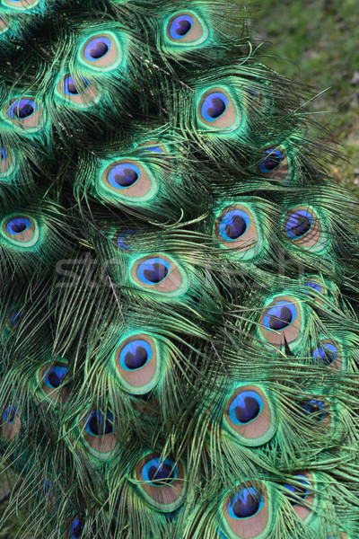 孔雀 羽毛 眼 自然 塗料 緑 ストックフォト © jonnysek