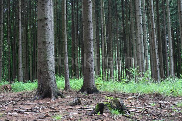 лес чешский многие высокий деревья пейзаж Сток-фото © jonnysek