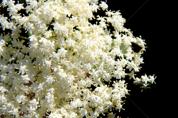 elder flower Stock photo © jonnysek