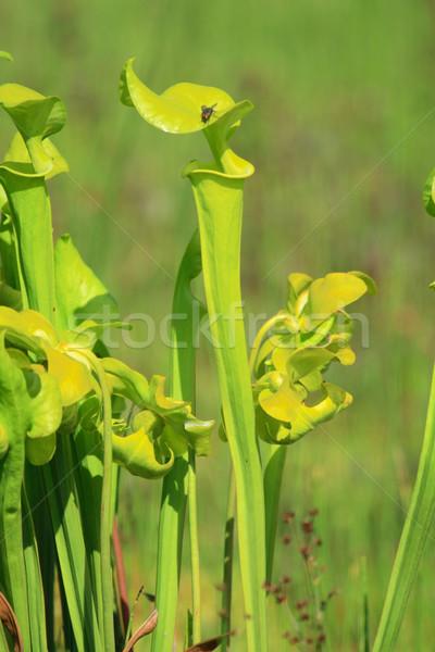 carnivorous plant Stock photo © jonnysek