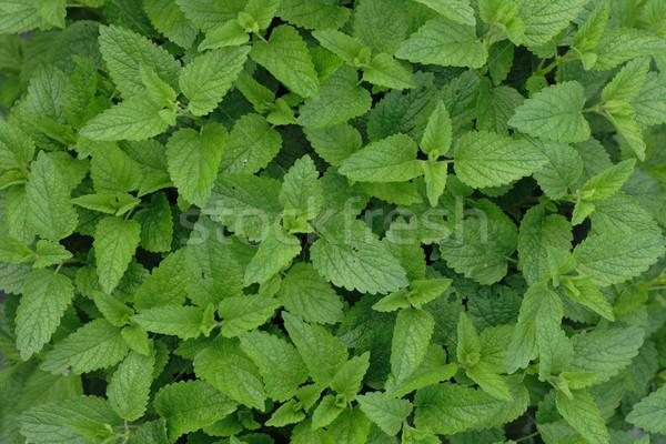 De bom textura grama natureza jardim Foto stock © jonnysek