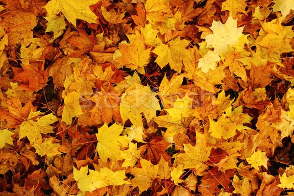 紅葉 自然 色 いい テクスチャ 森林 ストックフォト © jonnysek