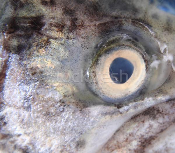 eye of trout  Stock photo © jonnysek