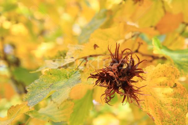 hazelnut plant in the autumn Stock photo © jonnysek