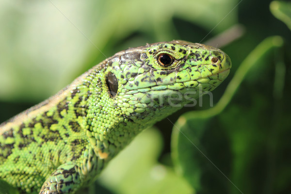 green lizard Stock photo © jonnysek