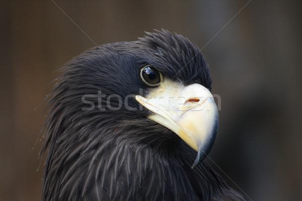 head of eagle Stock photo © jonnysek