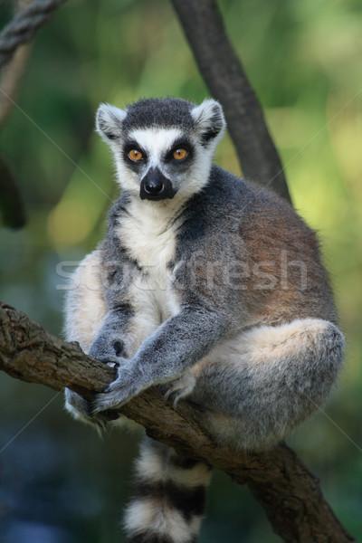 lemur monkey Stock photo © jonnysek