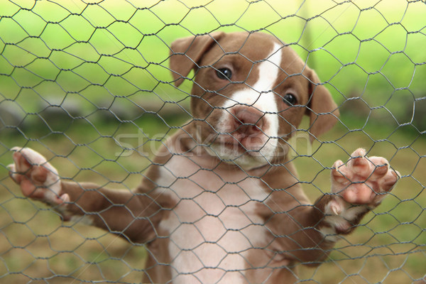 American Pit Bull Terrier puppy Stock photo © jonnysek