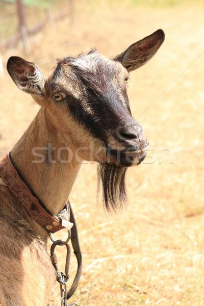 молодые коричневый коза чешский фермы лет Сток-фото © jonnysek