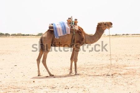 верблюда Сахара пустыне Тунис небе солнце Сток-фото © jonnysek