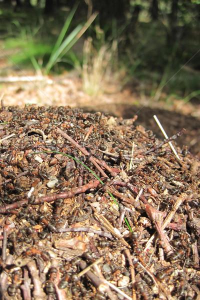 муравей колония Nice природного насекомое здании Сток-фото © jonnysek