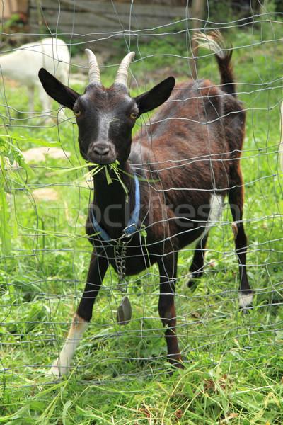 Stock photo: black goat in the green garden