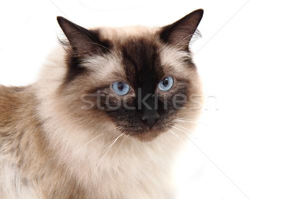 Chat isolé blanche poupée animaux belle Photo stock © jonnysek