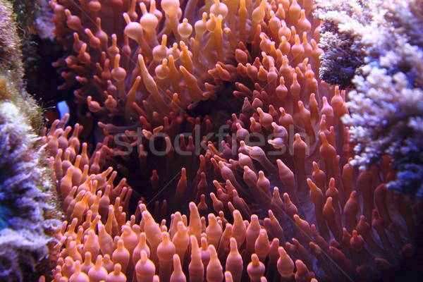 coral background Stock photo © jonnysek