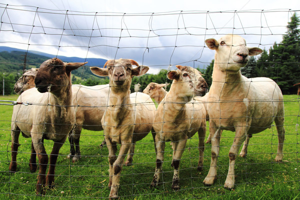 Stock photo: sheeps in the green grass