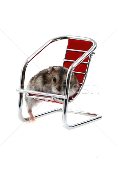 young dzungarian hamster in the chair Stock photo © jonnysek