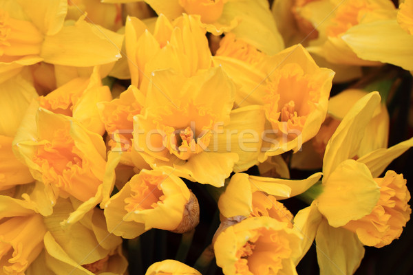 yellow narcissus flower background Stock photo © jonnysek