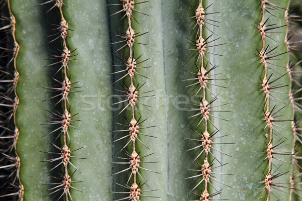 cactus background Stock photo © jonnysek