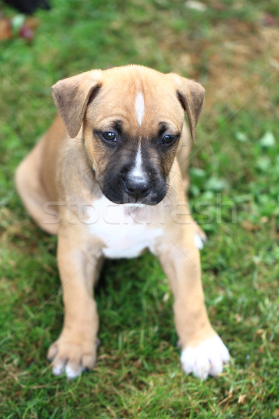 American Pit Bull Terrier Stock photo © jonnysek