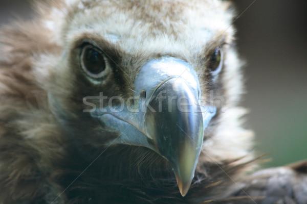 голову гриф зоопарке Прага портрет Африка Сток-фото © jonnysek