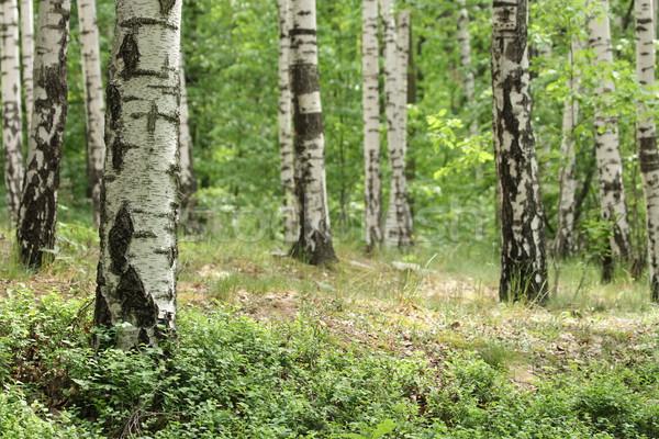 Voorjaar bos mooie bomen gras zon Stockfoto © jonnysek