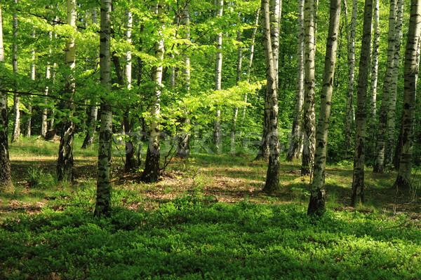 Abedul árbol forestales agradable naturales primavera Foto stock © jonnysek