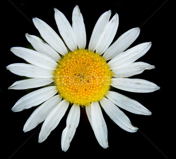 Witte bloem mooie geïsoleerd zwarte bloem voorjaar Stockfoto © jonnysek