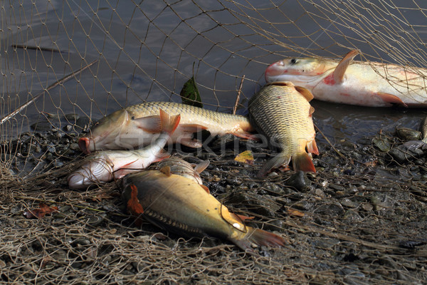 haul of carp fishes Stock photo © jonnysek