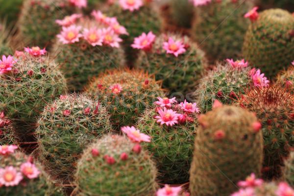 Rózsaszín kaktusz virágok szép természetes virág Stock fotó © jonnysek