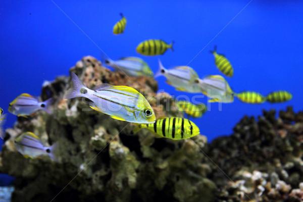 аквариум небольшой желтый Nice рыбы Сток-фото © jonnysek