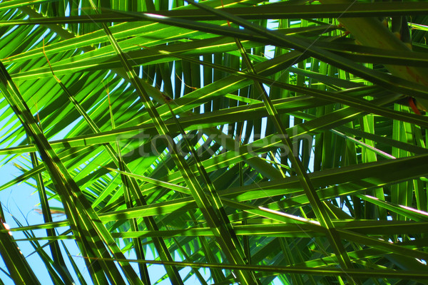 Hojas de palma textura agradable naturales árbol forestales Foto stock © jonnysek