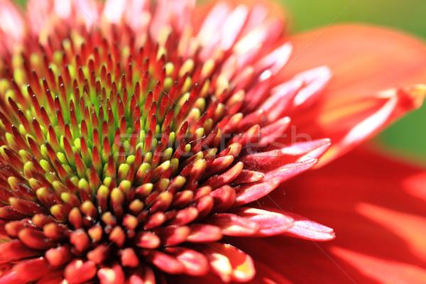 Stock photo: orange dahlia detail