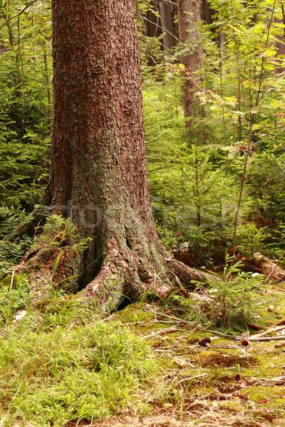 detail of tree Stock photo © jonnysek
