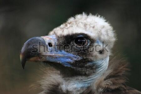 Dögkeselyű madár fej részlet szem portré Stock fotó © jonnysek
