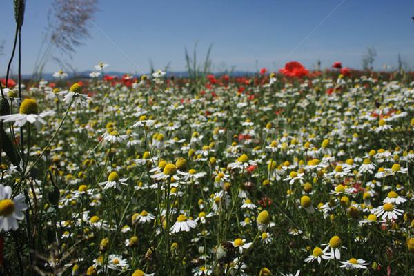 Champ de fleurs Nice fleur blanche domaine République tchèque printemps Photo stock © jonnysek