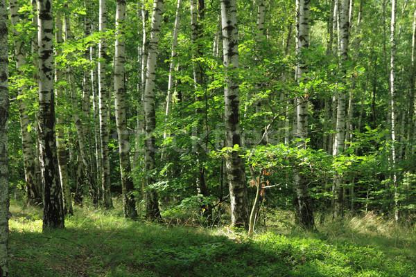 Nyírfa erdő kicsi Csehország fű levél Stock fotó © jonnysek