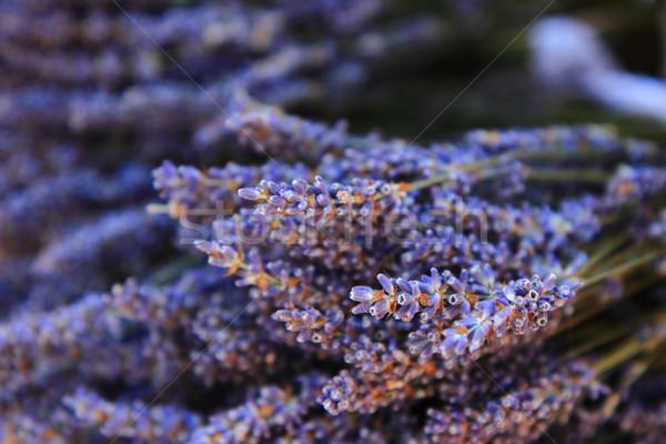 Fleur détail fraîches violette printemps nature Photo stock © jonnysek