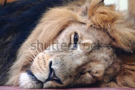 lion head Stock photo © jonnysek