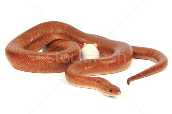 rainbow boa snake and his friend mouse Stock photo © jonnysek