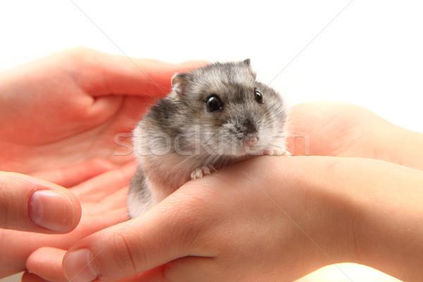 Hamster menselijke handen mooie huisdier vrouw Stockfoto © jonnysek