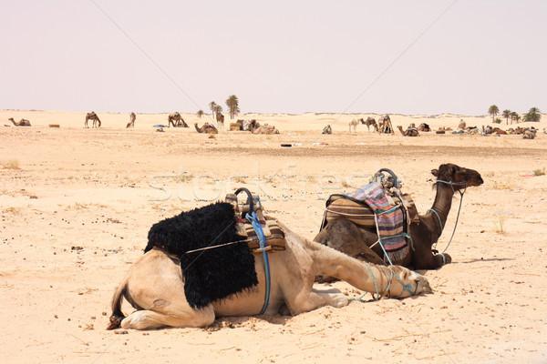 camels Stock photo © jonnysek