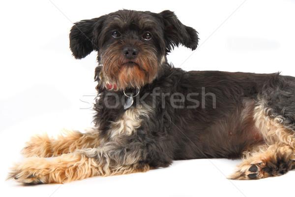small dog Stock photo © jonnysek