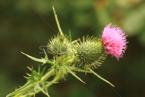 Stock photo: nice green thistle