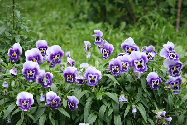 バイオレット 花 詳細 緑の葉 春 地球 ストックフォト © jonnysek