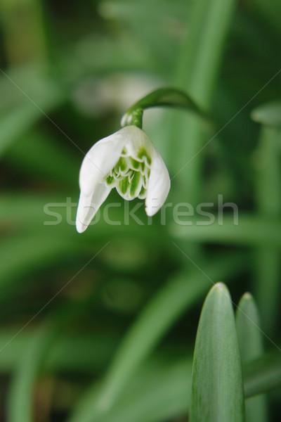 first spring flower  Stock photo © jonnysek