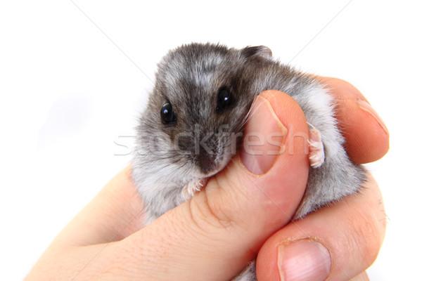 Hamster insan eller güzel evcil hayvan el Stok fotoğraf © jonnysek