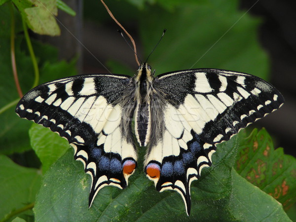 butterfly Stock photo © jonnysek