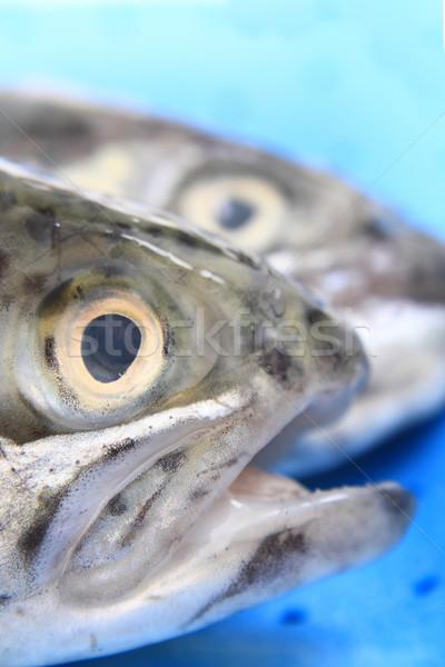 heads of trouts Stock photo © jonnysek