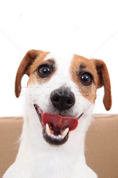 Jack russell terrier izolált fehér kutya portré állat Stock fotó © jonnysek
