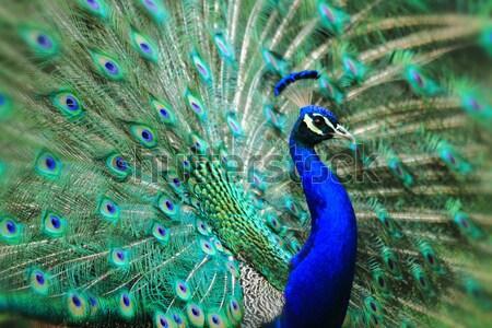 peacock with nice feathers Stock photo © jonnysek